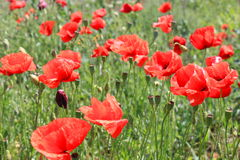 Poppies on the field. Poppies flowers on the field in sunlight royalty free stock photography