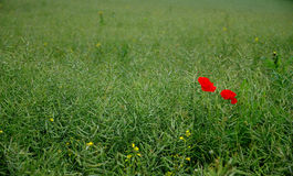 Poppies in a field of grass. Photo of poppies in a filed of grass stock photography