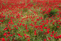 Poppies field  , Greece. God is a painter and he loves red... Poppies field  (horizontal Royalty Free Stock Photo