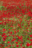Poppies field, Greece (vertical). God is a painter and he loves red... Poppies field (vertical Royalty Free Stock Images