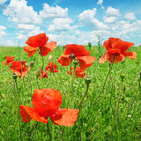 Poppies on  field Royalty Free Stock Images