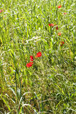 Poppies in a field Stock Images