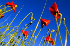 Poppies seen at ground level with sky stock photography