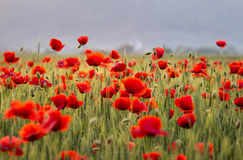 Poppies field. I look forward to revisit the beautiful blooming poppies - beautiful crimson flowers, which they see far, as some bright flames burning without Royalty Free Stock Images