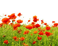 Poppies on field isolated. On white background stock photos