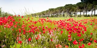 Poppies field in Italy Tuscany Royalty Free Stock Photos