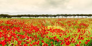 Poppies field in Italy Tuscany Royalty Free Stock Images
