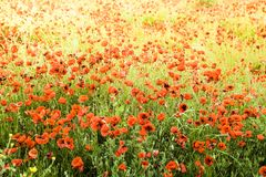 Poppies field in Italy Tuscany Royalty Free Stock Photography