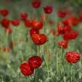 Poppies field in Kirgizia Stock Photos
