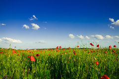 Poppies field landscape Stock Photos