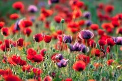 Poppies field. Landscape of poppy flower field Stock Photography