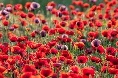 Poppies field. Landscape of poppy flower field Royalty Free Stock Image