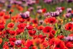 Poppies field. Landscape of poppy flower field Stock Photo