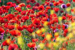Poppies field. Stock Photography