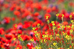 Poppies field. Stock Images