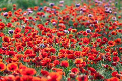 Poppies field. Royalty Free Stock Photos