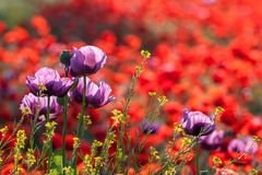 Poppies field. Royalty Free Stock Photo