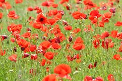 Poppies field landscape Royalty Free Stock Photos