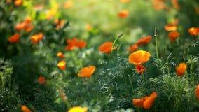 Poppies field stock video