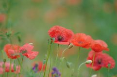 Poppies in a field. Macro of a few of poppy flowers. The blurred background shows the green lawn and a few more flowers stock photo