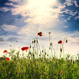 Poppies field Stock Photography