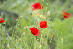 Poppies on the field, Papaver rhoeas Stock Image