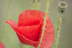 Poppies on the field, Papaver rhoeas Royalty Free Stock Photo