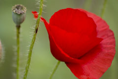 Poppies on the field, Papaver rhoeas Royalty Free Stock Photos