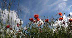 Poppies field, papaver rhoeas, in bloom, wind, blue sky, Normandy in France, slow motion. 4K stock video