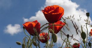 Poppies field, papaver rhoeas, in bloom, wind, blue sky, Normandy in France, slow motion. 4K stock footage