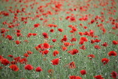 Poppies field Stock Images