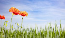 Poppies in a Field royalty free stock photography