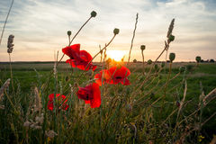 Poppies field in rays sun Royalty Free Stock Photography