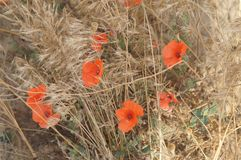 Poppies field red beautiful flowers. Red beautiful flowers field poppies Royalty Free Stock Photo