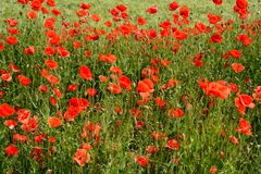 Poppies. Field with red poppies blooming Royalty Free Stock Photography