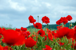 Poppies. Field with red poppies and cloudy sky. Close-up Stock Photos