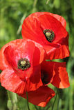 Poppies field, red flowers. Green and red colors in nature. Royalty Free Stock Images