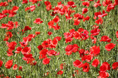 Poppies field, red flowers. Green and red colors in nature. Stock Photo