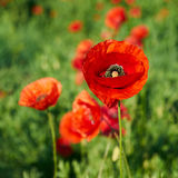 Poppies on a field Stock Image