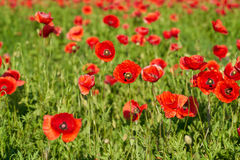Poppies on a field Royalty Free Stock Photo