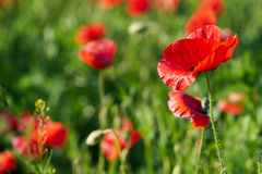 Poppies on a field Royalty Free Stock Images