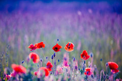 Poppies field. Red wild poppies field in blue royalty free stock image