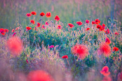 Poppies field. Red wild poppies field in sunny summer meadow royalty free stock photo