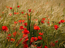Poppies and ripe wheat. Poppies in a field of ripe wheat royalty free stock photo