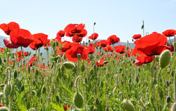 Poppies in field Royalty Free Stock Image