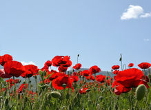 Poppies in field. Field of poppies with sky as background royalty free stock image