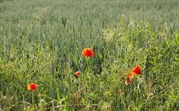 Poppies at the field. Some blooming poppies growing on the edge of crop field Stock Photos