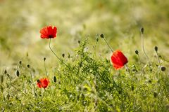 Poppies In A Field. Some red poppies in a green field with selective focus Royalty Free Stock Image