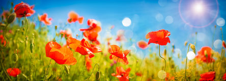 Poppies field at sunlight Stock Photos