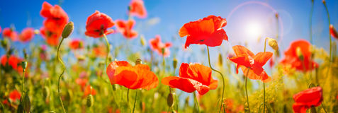 Poppies field at sunlight Royalty Free Stock Images